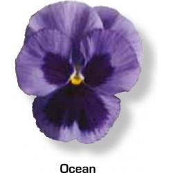 Viola wittrockiana Goliath F1 Ocean