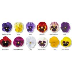 Viola witrockiana Goliath F1 mix G-9