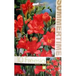 Bulbi de Frezii rosii - Freesia lacteal Double Red - 10 bulbi