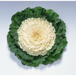 "Varză decorativă ""Brassica oleracea Attraction F1 White"""