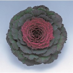 "Varză decorativă ""Brassica oleracea Attraction F1 Purple"""
