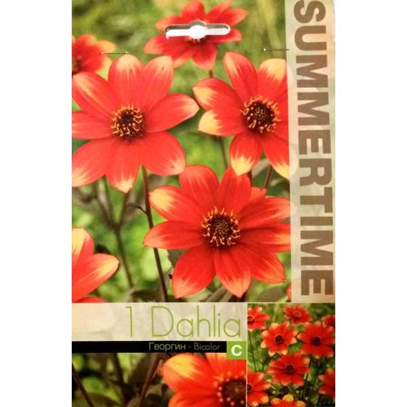 Dahlia Dahlegria Bicolor