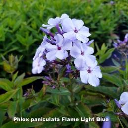 Phlox paniculata Flame Light Blue