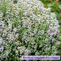 Thymus vulgaris Precompa