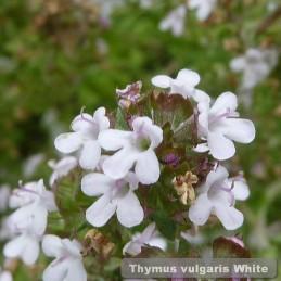 Thymus vulgaris White