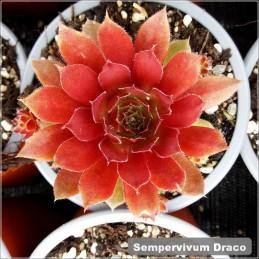 Sempervivum Draco