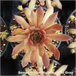 Sempervivum BigSam Coral Gray