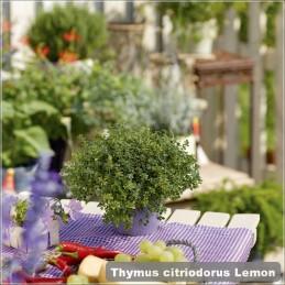 Thymus citriodorus Lemon