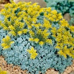 Sedum spathulifolium 'Cape Blanco' Pack 10 plante