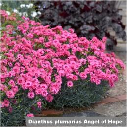Dianthus Angel of Hope