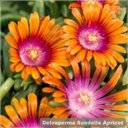 Delosperma Sundella Apricot