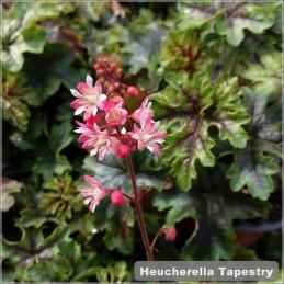 Heucherella Tapestry