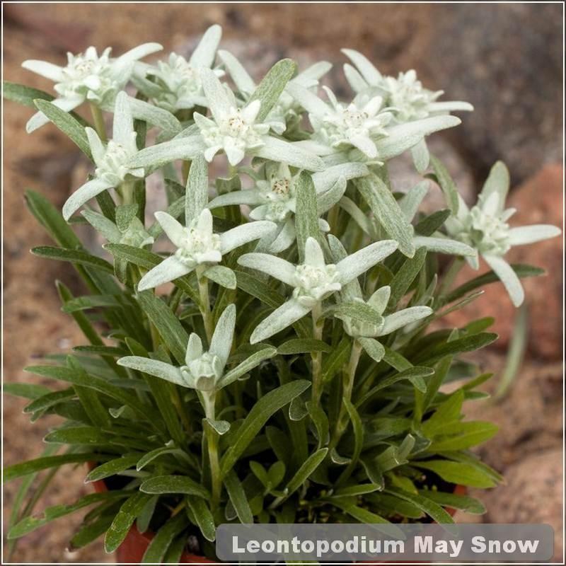 Leontopodium May Snow