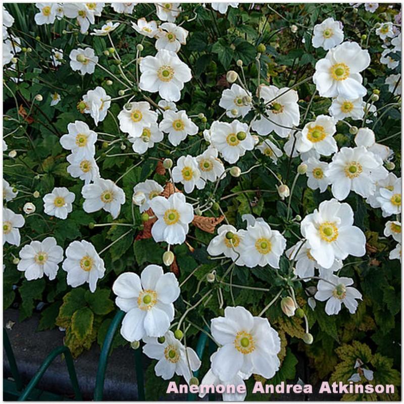Anemone Andrea Atkinson
