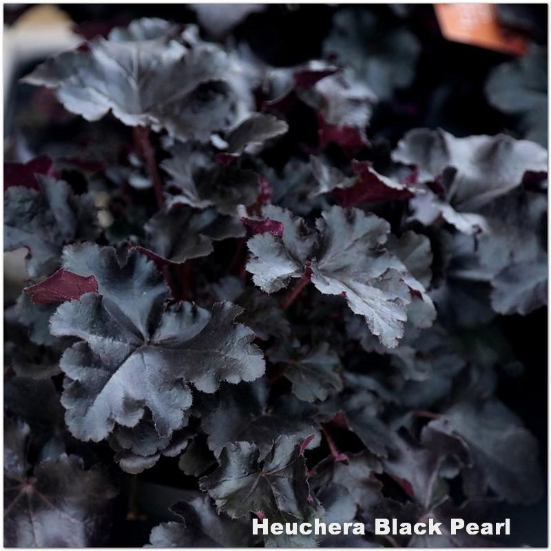 Heuchera Black Pearl