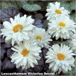 Leucanthemum Victorian Secret