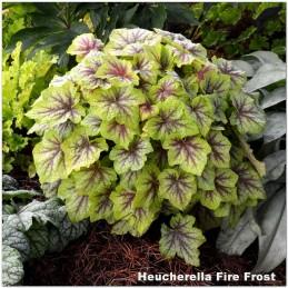 Heucherella Fire Frost