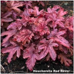 Heucherella Red Rover