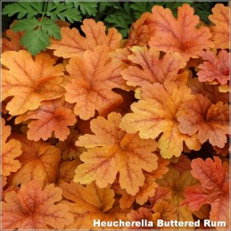 Heucherella Buttered Rum