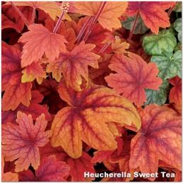 Heucherella Sweet Tea