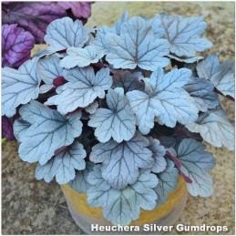 Heuchera Silver Gumdrop