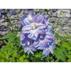 Delphinium x cultorum Guardian F1 'Lavender'