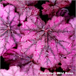 Heuchera Wild Rose