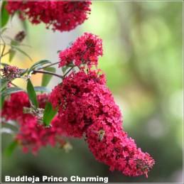 Buddleja Prince Charming