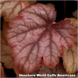 Heuchera World Caffe Americano