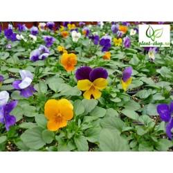 Viola cornuta Callisto F1 mix
