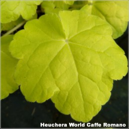 Heuchera World Caffe Romano