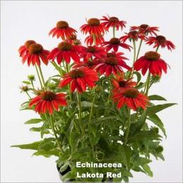 Echinaceea Lakota Red