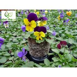 Viola cornuta Sorbet XP F1 Select mix