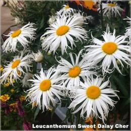 Leucanthemum Sweet Daisy...