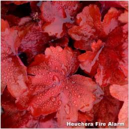 Heuchera Fire Alarm