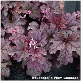Heucherella Plum Cascade