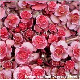 Sedum spurium Dragons Blood