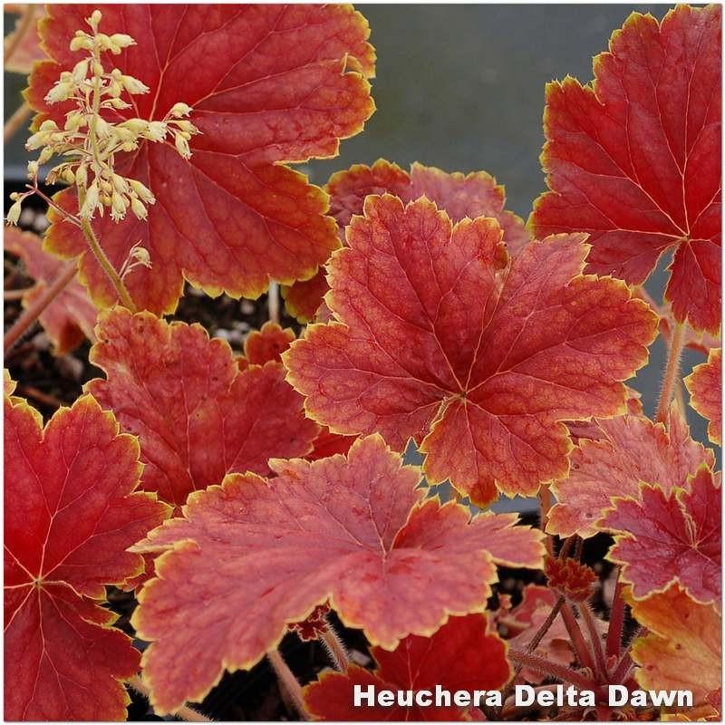 Heuchera Delta Dawn