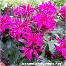 Monarda Balmy Purple-Red