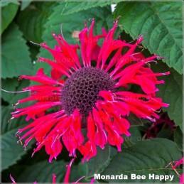 Monarda Bee Happy G-9