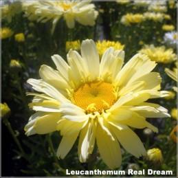 Leucanthemum Real Dream