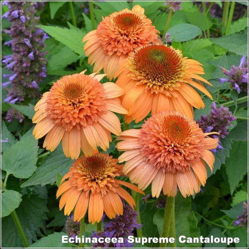 Echinaceea Supreme Cantaloupe