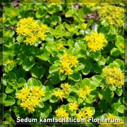 Sedum kamtschaticum Floriferum