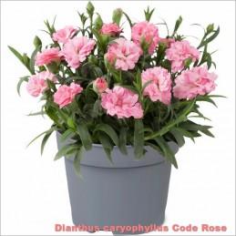 Dianthus Code Rose