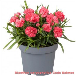 Dianthus caryophyllus Code Salmon