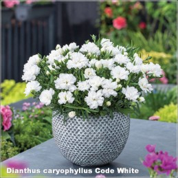 Dianthus caryophyllus Code White
