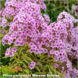 Phlox paniculata Warsaw Sunrise