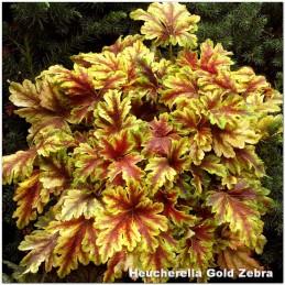 Heucherella Gold Zebra