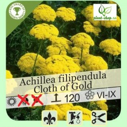 """Achillea filipendula """"Cloth of Gold"""""""