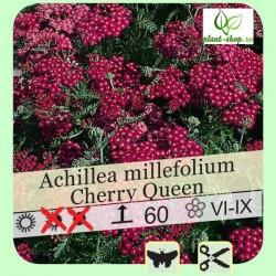 "Achillea millefolium ""Cherry Queen"""